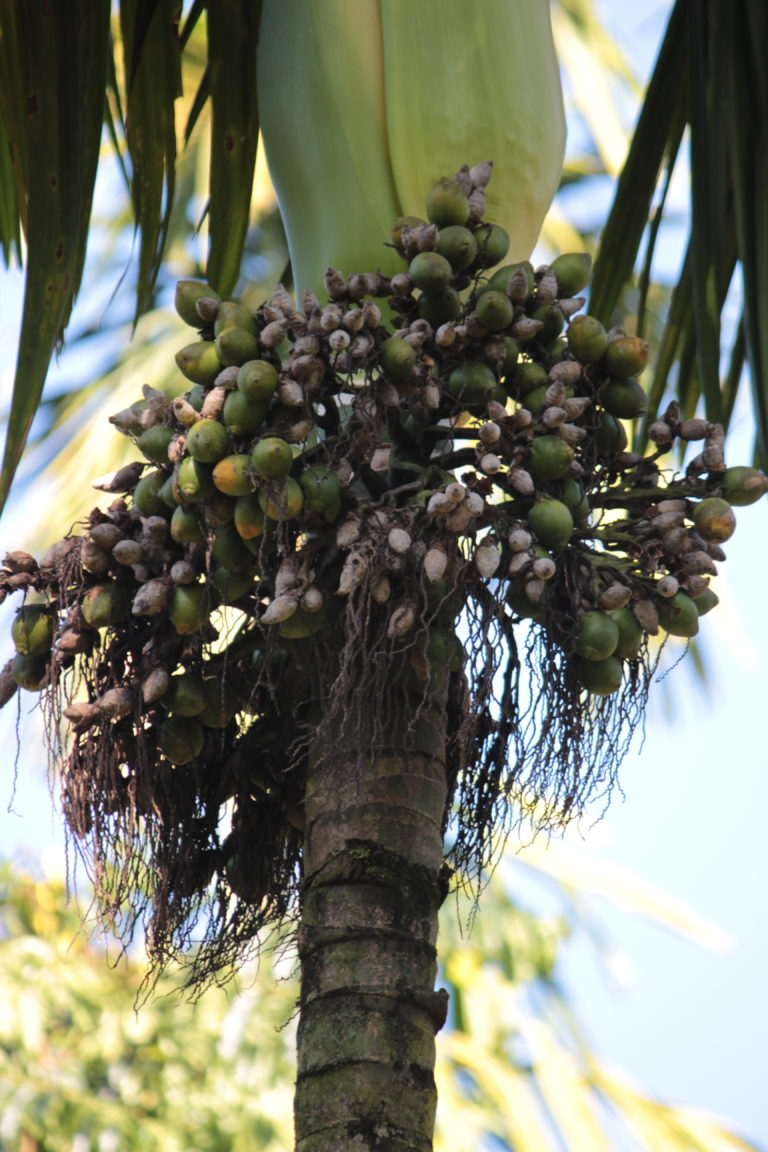 Areca palm with nuts