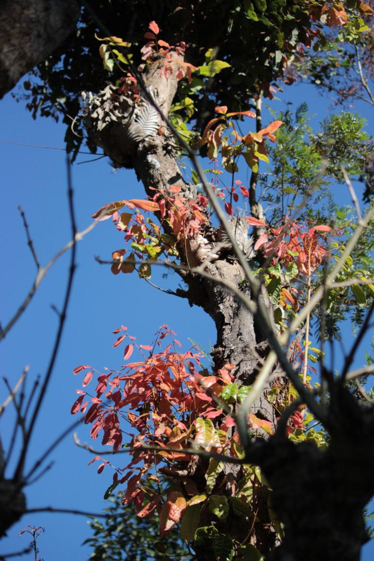 Gauru's tree