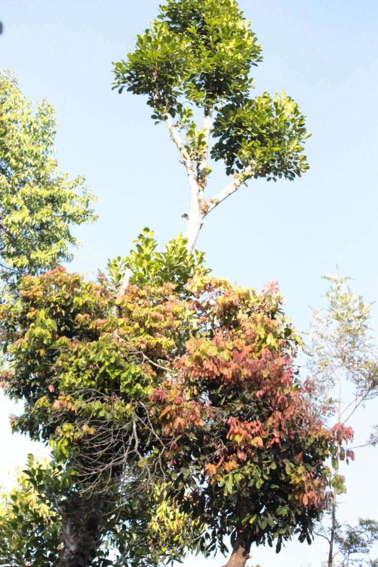 Gangu's tree