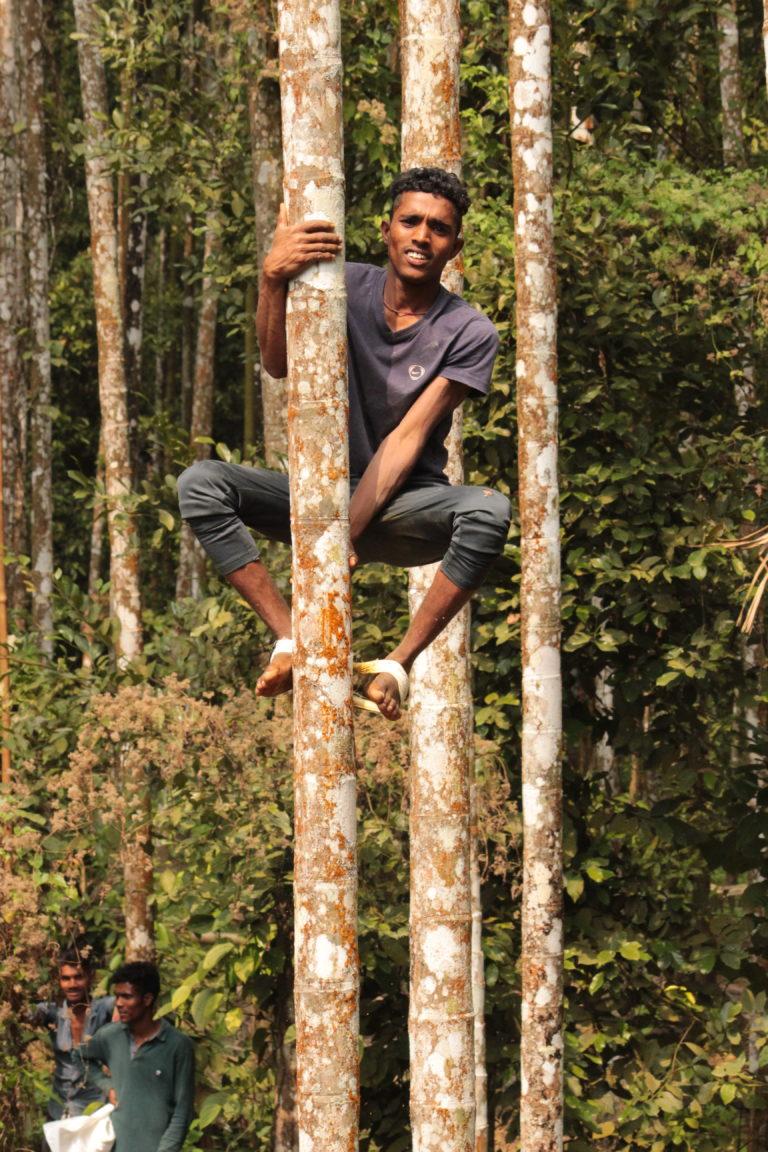 Areca palm climber