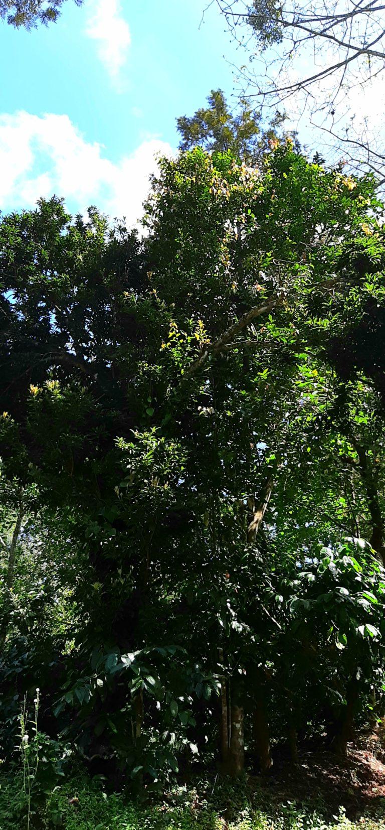 Lychee tree